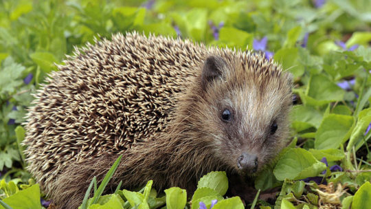 Hedgehog in critical condition after coming into contact with Pete Doherty